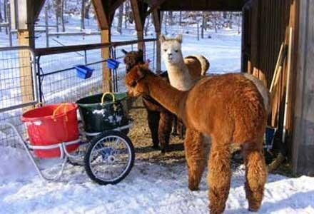 Muck Caddy cart with Llama feed